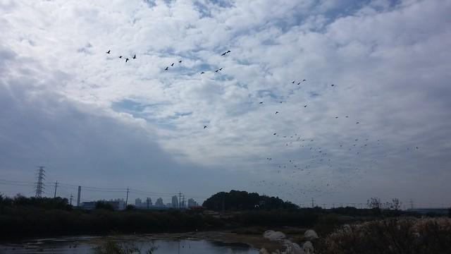 공릉천 관찰일기 | 오리 날다
