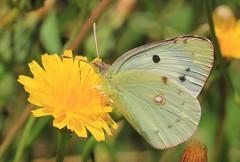 Azores - Butterflies