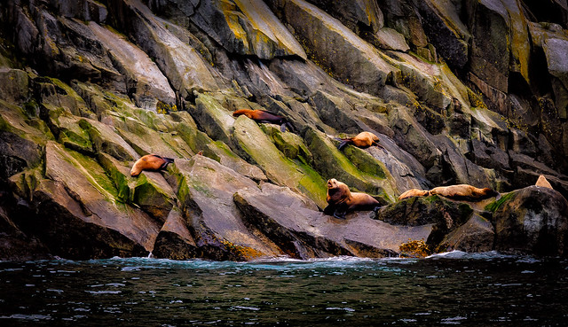 Stellar Sea Lions,  Chiswell Islands