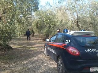 Casamassima- ladri di olive-I Carabinieri in azione nelle campagne (1)