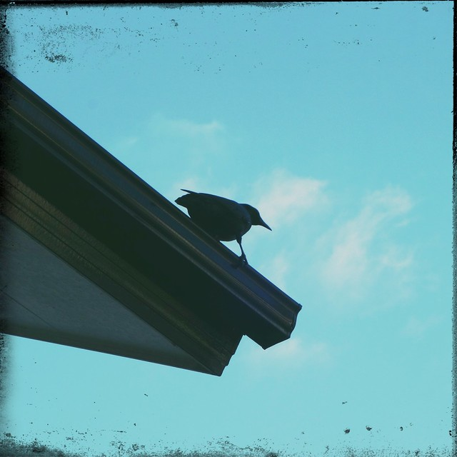 Crow on the roof