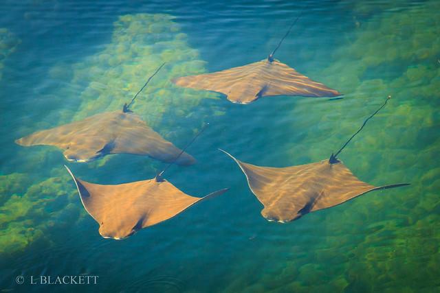 golden manta rays