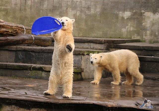 Eisbär Fiete im Zoo Rostock  0139