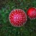 Fliegenpilz - Amanita muscaria - fly agaric
