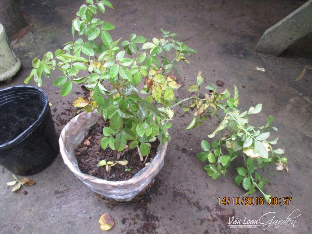 Cây hồng leo Honey Caramel bị vàng lá và chết héo