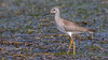 Either a greater or lesser yellowleg