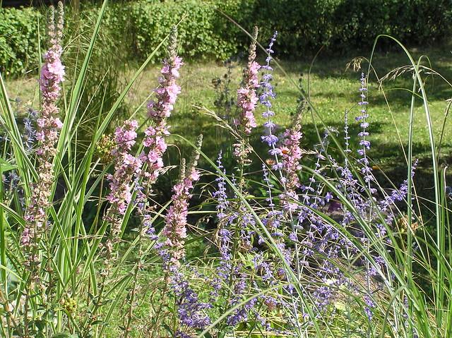 Lythrum salicaria 'Blush' & Perovskia 'Blue Spires'