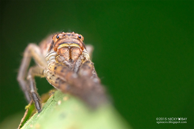 Crab spider (Tmarus sp.) - DSC_0732