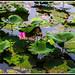(Pekin): Flor de loto