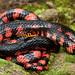 Eastern Mud Snake by Nick Scobel