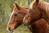 Horses in Fall by Denise @ New Mercies I See