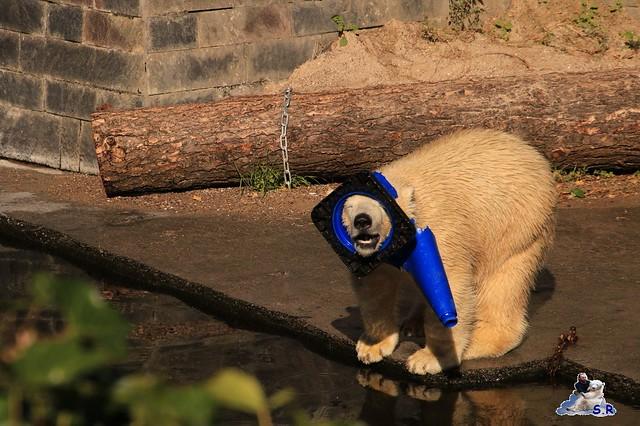 Eisbär Fiete im Zoo Rostock 26.09.2015   0291