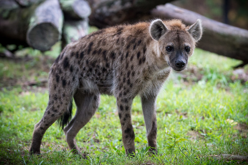 Hyena Standing in Profile