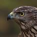 Juvenile northern goshawk by pe_ha45