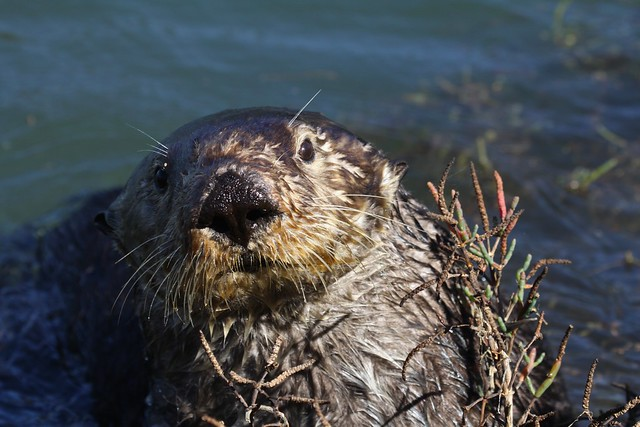 southern sea otter foraging for shore crabs