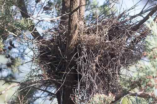 White-browed Babbler nest