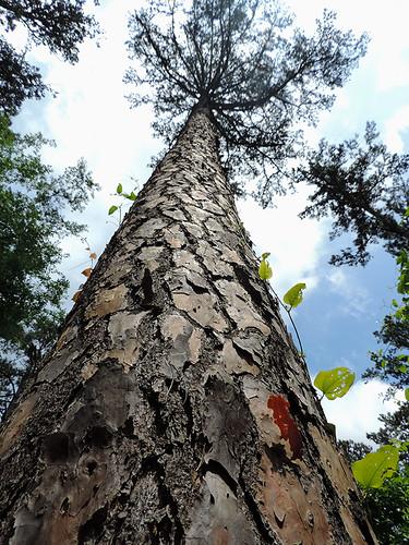 trees usa plant tree forest woods flora texas outdoor tyler foliage tylerstatepark tylertx