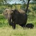 Tanzania, Karatu, Tarangire National Park, african elephants (loxodonta africana) by Eric Lafforgue