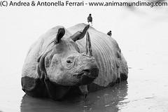 Indian rhinoceros Rhinoceros unicornis