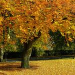 Autumn tree, Moor Park