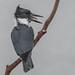 Kingfisher - Mouthful by BernieErnieJr