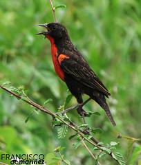 Tordo Pechirrojo / Sturnella militaris / Red-Breasted Blackbird.