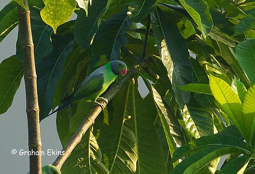 layard'sparakeet psittaculacalthrapae srilanka endemic balcony rockviewmotel southernsrilanka sinharajaforest grahamekins 8985