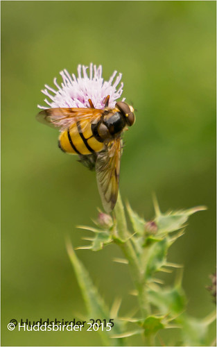 Volucella inanis Hoverfly