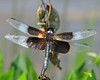 a late summer Widow skimmer by Vicki's Nature