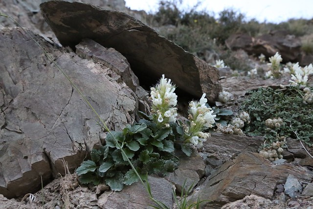 Dracocephalum heterophyllum (Lamiaceae)