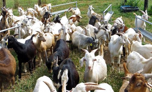 خواص مدفوع گوسفند و بز