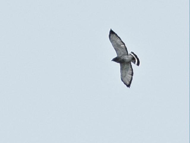 Broad-winged Hawk distant 20150915