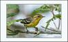 Blackburnian Warbler by Summerside90