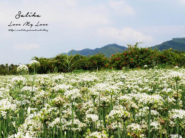 桃園大溪景點中新里韭菜花 (23)