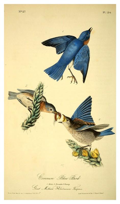 010-Pajaro azul comun- Vol2-1840-The birds of America…J.J. Audubon