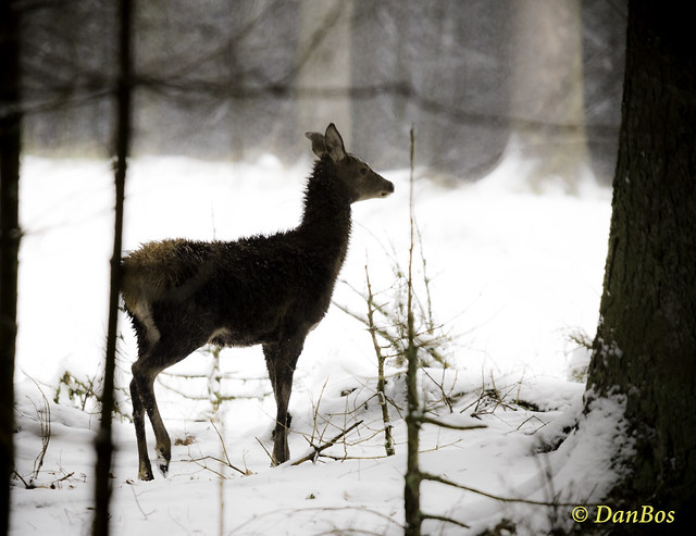 young deer in the winter
