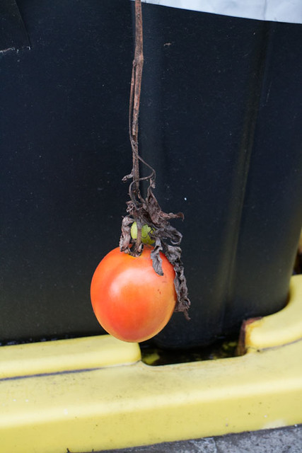 Picking Tomatoes in January_1