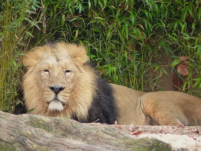 Löwe Kaschi, Zoo Frankfurt