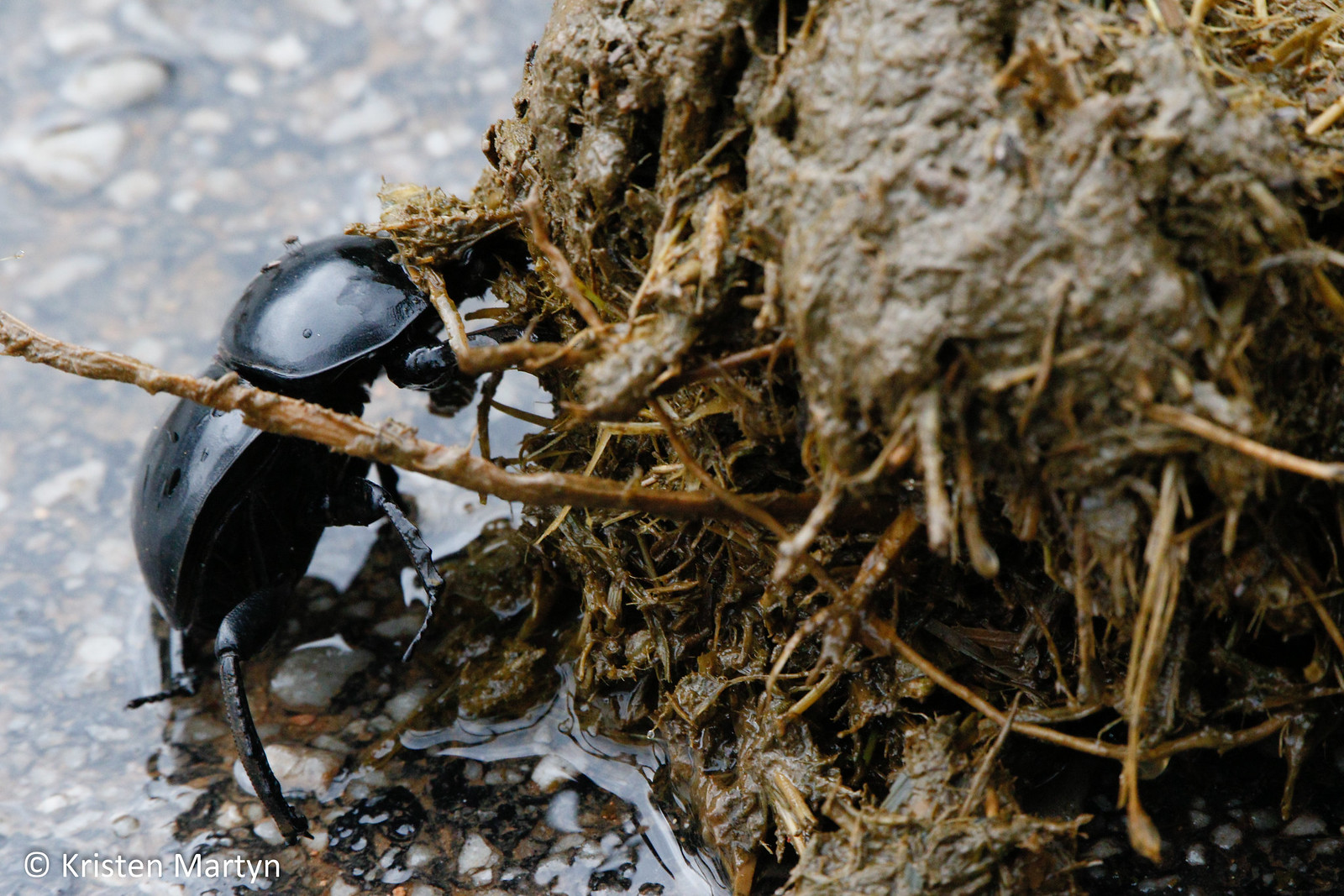 Flightless Dung Beetle (Circellium bacchus)