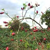 #rose hips in #london NW7