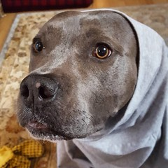 Mother wanted me to come out in a kimono, so we had quite a fight. #greygardens #littleedie #bonnie_blue_staffy #bonnie_blue_bullie #staffysofinstagram #pitbullsofinstagram #dogsofinstagram #showmeyourpitties #dontbullymybreed #endbsl #lovernotafighter #d