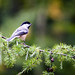 Chickadee on Pine Branch