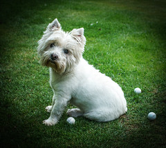 dog breed, animal, dog, mammal, cairn terrier, west highland white terrier, terrier,