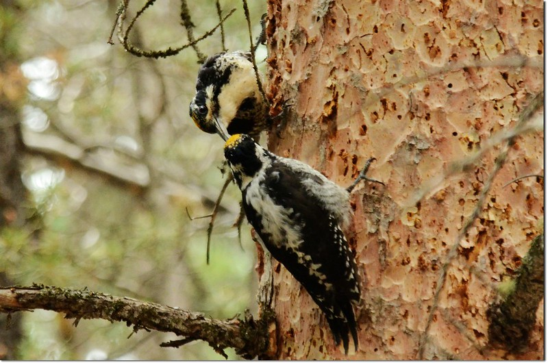 Woodpeckers 1
