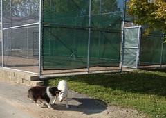 Jasper as a puppy, harassing Daisy