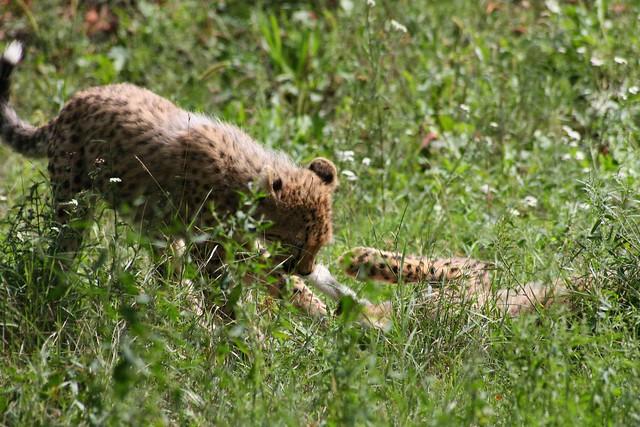 [235/365] Geparden Streithähne | Tiergarten Schönbrunn Part II