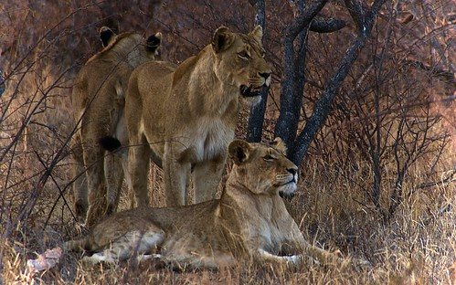 Lions posing for us in Balule Game Reserve