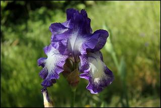 Iris Rococo (5)