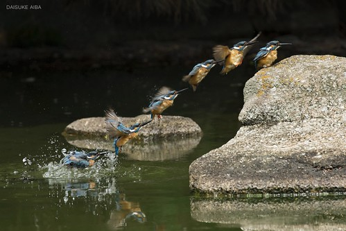 Kingfisher bathing Continuous photo カワセミ飛翔連続写真