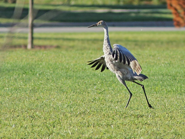 Sandhill Crane colt chases goose 20150913